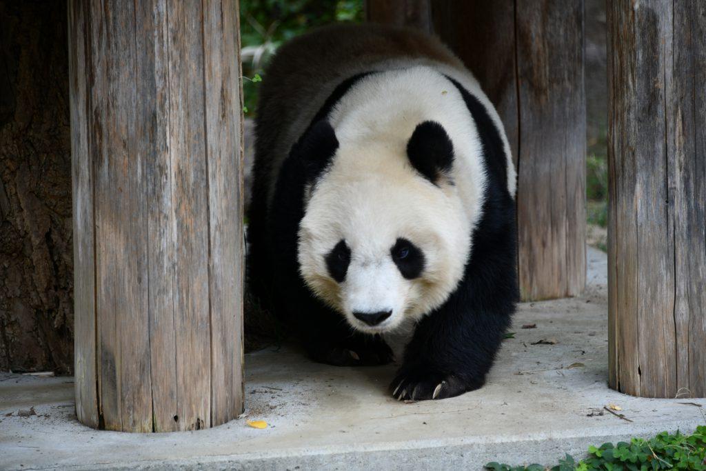 ジャイアントパンダの画像 p1_24