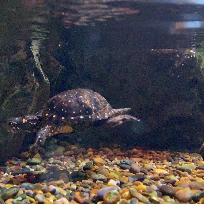 キボシイシガメ画像:おさかな図鑑:トレースOK
