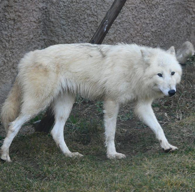 ホッキョクオオカミ画像:トレースOK:どうぶつ図鑑