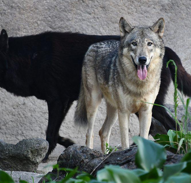 シンリンオオカミ画像:どうぶつ図鑑*トレースOK