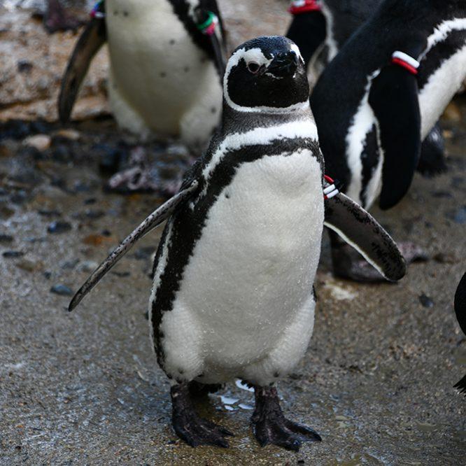マゼランペンギン画像:おさかな図鑑:トレースOK