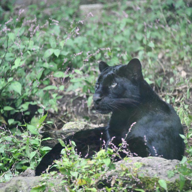 黒豹(クロヒョウ)どうぶつ図鑑:トレースOK